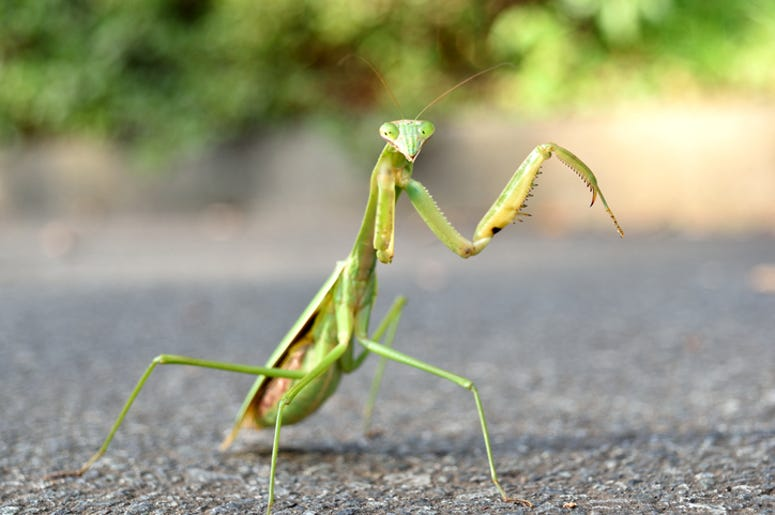 DOC SHOW AUDIO: What is the Plural of Praying Mantis?