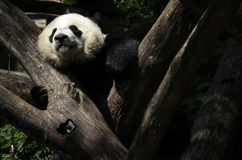 Bei Bei the giant panda pictured in a tree.