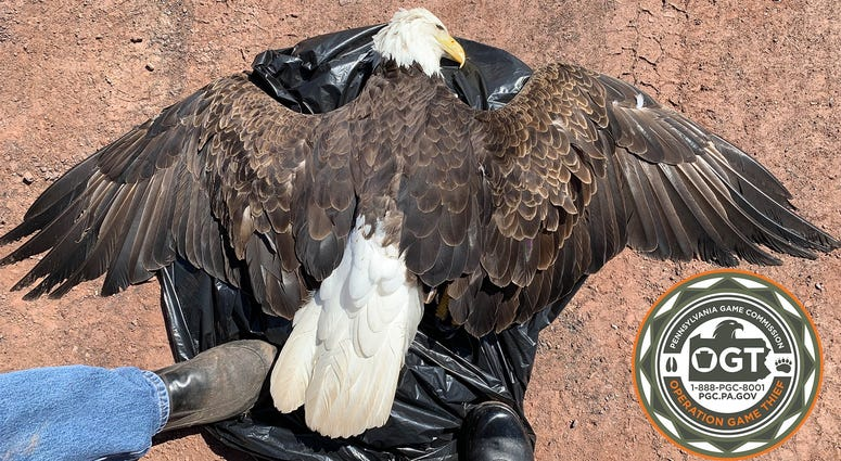 Pa. Game Commission seeks info on deaths of 3 eagles