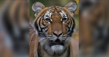 COVID 19 tiger