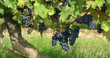 Vineyard file image