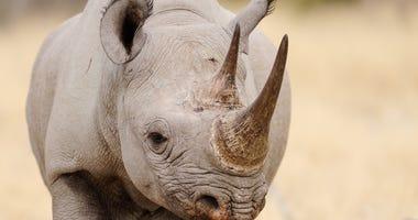 Black rhino head portrait.