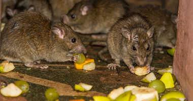 Rats eating garbage
