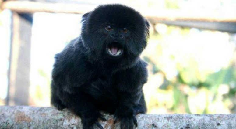 Kali the monkey, West Palm Beach Zoo