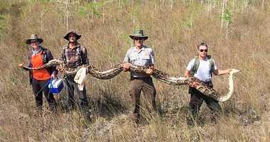 Python Florida Everglades