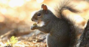 A squirrel eats an acorn