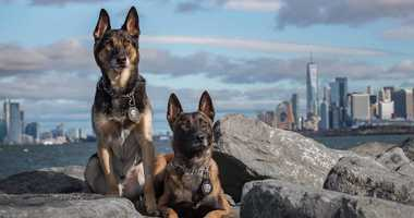 2 Police Dog Stars of NYPD Foundation K9 and Friends Calendar
