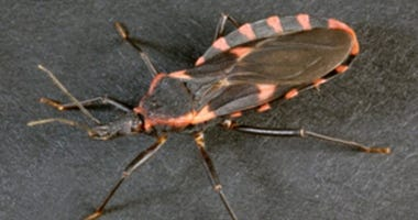 Triatomines aka the 'kissing bug'