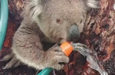 Meet Oz At Palm Beach Zoo To Raise Money For Koala's