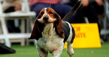 Feb 9, 2020; New York, NY, USA; A Basset Hound is seen during breed judging at the 144th Annual Westminster Kennel Club Dog Show where over 2,600 dogs representing 204 breeds and varieties will vie for the coveted Best In Show title. at Piers 92/94. Manda