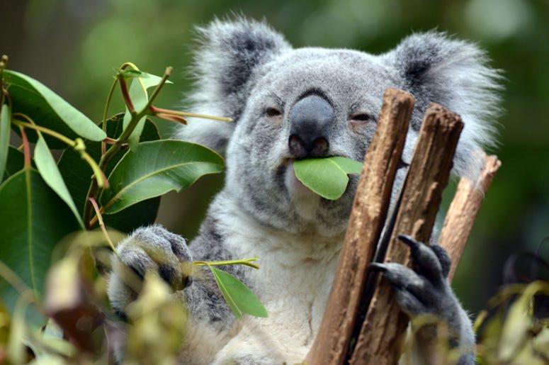 Koala eating leaves
