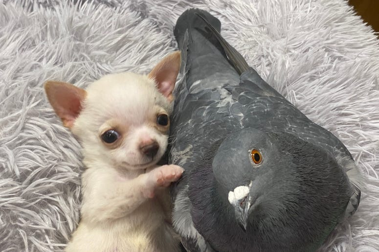 Chihuahuah and Pigeon
