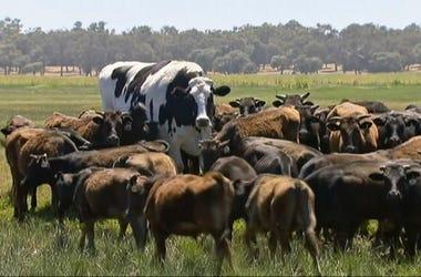 Foto de la vaca en Australia que es demasiado grande y pesada como para ser llevada al matadero. Foto tomada de video el 15 de noviembre del 2018 en Lake Preston, Australia.
