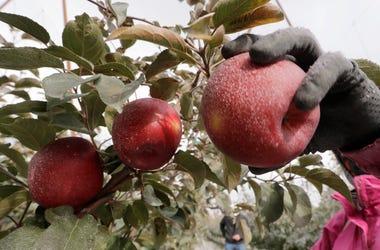 En esta foto del 15 de octubre del 2019, una manzana Cosmic Crisp es recogida en Wapato, Washington. Es una nueva variedad de manzana, y estará en los estantes en Estados Unidos a partir del 1 de diciembre.