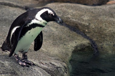 african penguin at the Maryland Zoo
