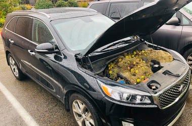 En esta imagen del lunes 7 de octubre de 2019, cortesía de Chris Persic, se observan nueces y césped debajo del capó de su camioneta familiar en el área de Pittsburgh.