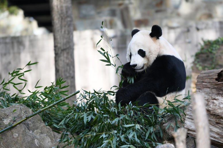 U.S.-born male giant panda Bei Bei is seen at the Smithsonian's National Zoo in Washington D.C., the United States, on Nov. 11, 2019. A weeklong farewell party for U.S.-born male giant panda Bei Bei, who is to depart the Smithsonian's National Zoo for Chi