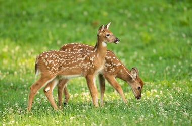 Two whitetail deer fawns with spots in an open meadow in summer