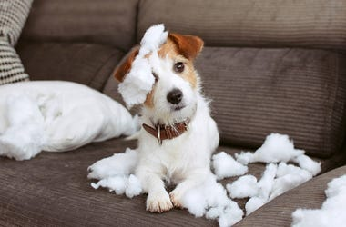 Dog covered in stuffing after eating pillow