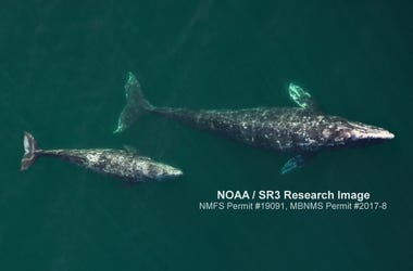 Aerial image of an adult female gray whale and her calf as they migrated north off Central California in April 2019. Images like this are being used to assess the condition of the mothers and the growth of their calves. Gray Whale And Calf