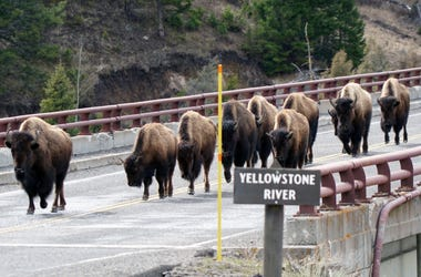 A herd of bison crosses a bridge at Yellowstone National Park in March 2017. The free-ranging herds often cause minor traffic delays for park visitors who find their vehicles temporarily surrounded. [Via MerlinFTP Drop] Xxx Xx Yellowstone Hughes 548 Jpg U