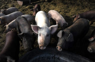 Pinewood Farm raises pigs and cattle in Nunnelly, Tenn. on Friday, Nov. 14, 2019. Nas Pinewood 013Pinewood Farm raises pigs and cattle in Nunnelly, Tenn. on Friday, Nov. 14, 2019. Nas Pinewood 013