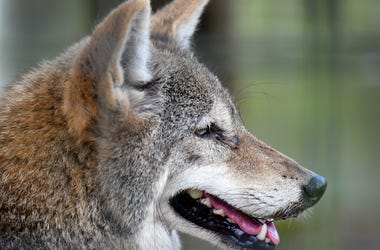 A coyote at Jungle Adventures, A Real Florida Animal Park,located on East Colonial Drive in Christmas, few miles west of the Brevard County line. They have many animals native to Florida that have been rescued from a variety of circumstances. Jungle Adven