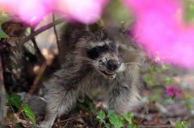 A raccoon. 242c809a 00006