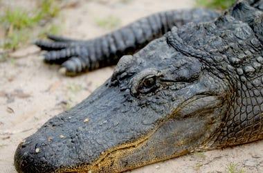 An alligator rests at Gators & Friends in Greenwood. Shrbrd 07 04 2014 Times 1 C004 2014 07 03 Img Shr0416gators01 Jpg 1 1 Io7l1bbj L444975016 Img Shr0416gators01 Jpg 1 1 Io7l1bbj