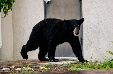A juvenile black bear spent the morning, Tuesday, May 25, 2020 roaming through Fort Myers. It was eventually tracked down by members of the Florida Fish and Wildlife Conservation Commission and a bear trapper at Cement Industries on Hanson Street in Fort