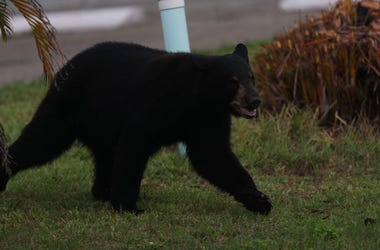 A juvenile black bear spent the morning, Tuesday, May 25, 2020, roaming through Fort Myers. It was eventually tracked down by members of the Florida Fish and Wildlife Conservation Commission and a bear trapper at Cement Industries on Hanson Street in Fort