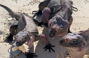 The Allen Cays rock iguana (Cyclura cychlura inornata) is an endangered subspecies of the northern Bahamian rock iguana that is found on Allen's Cay in the Bahamas. They are some where tame and would take food from us as well and some would stay for a fri