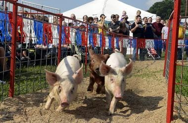 Farm pigs race around the Hogway Speedway at the NC Mountain State Fair Monday. Named for NC NASCAR drivers, Squilling Earnhardt Jr. won the race for the treats at the finish line. PiFarm pigs race around the Hogway Speedway at the NC Mountain Statg Races