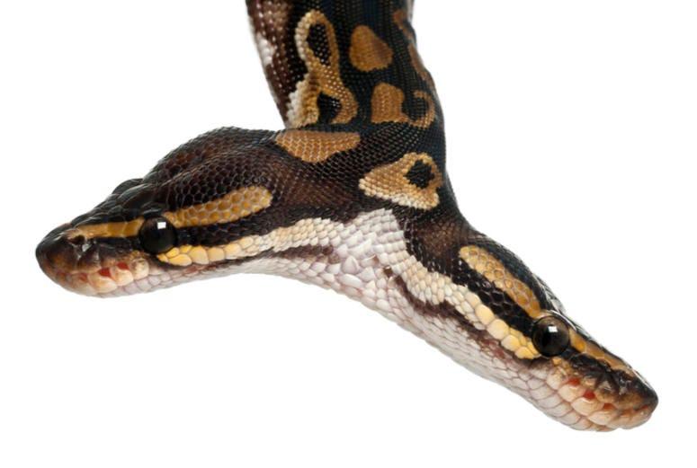2 headed snake