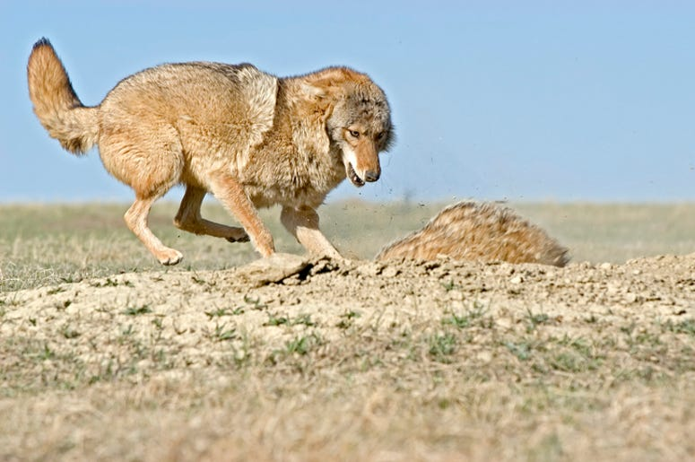 coyote and badger