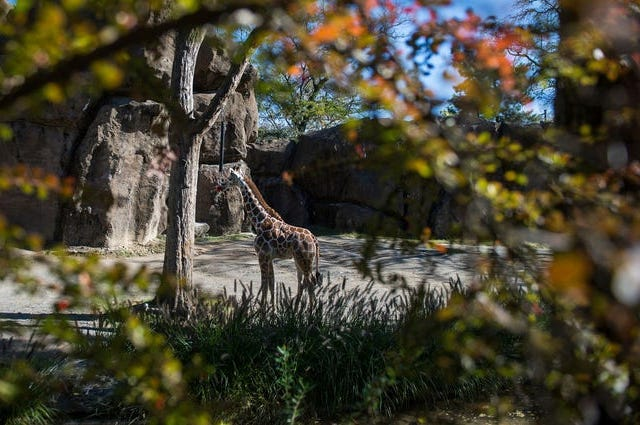 Beau, a five-month-old giraffe at the Philadelphia Zoo Tuesday, Oct. 30, 2018 in Philadelphia, Pa.