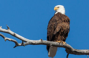 LISTEN: Where You Can Watch Bald Eagles This Weekend! Jim & Teri Talk to a Local Man with His Eye to the Sky