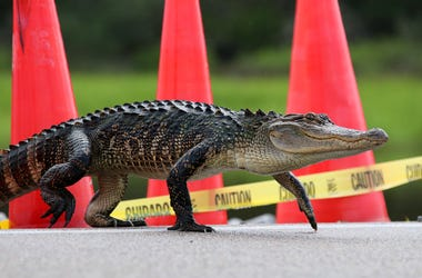 Alligator on road
