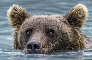 This bear wanted to take a dip in the pool
