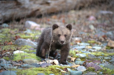 Bear Cub