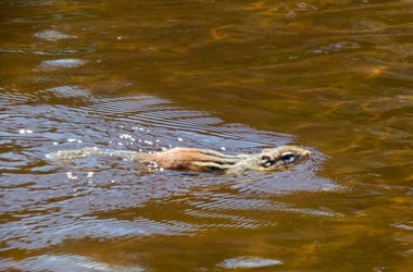 Squirrel Swimming Doesn't Need Saving