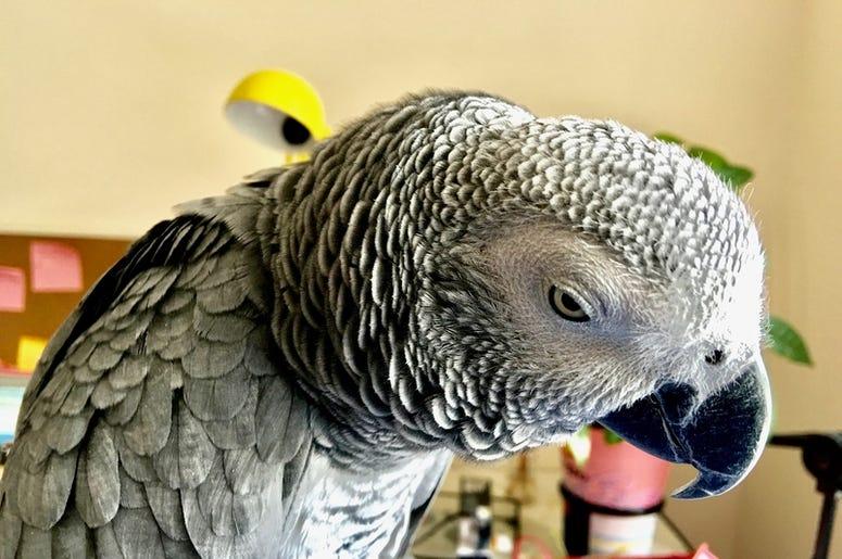 Talking Parrot Placed Orders Thru Alexa 104 3 Womc Detroit