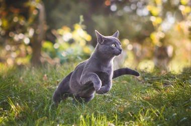 Grey Cat Roaming