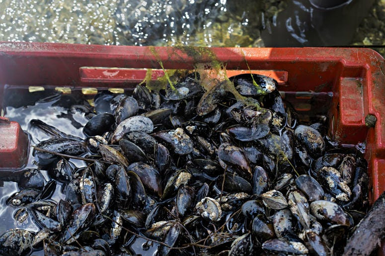 Mussles will be used to help clean up the Anacostia River.
