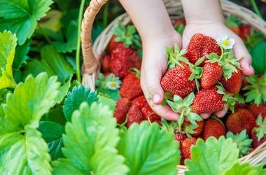 Strawberries - Pick Your Own