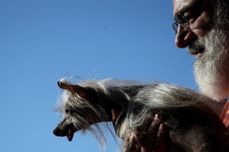 PETALUMA, CALIFORNIA - JUNE 21: A contestant walks off stage during the World's Ugliest Dog contest at the Marin-Sonoma County Fair on June 21, 2019 in Petaluma, California. A dog named Scamp the Tramp from Santa Rosa, California won the annual World's Ug