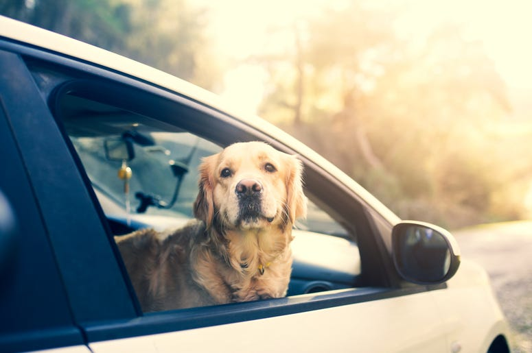 dog in passenger seat