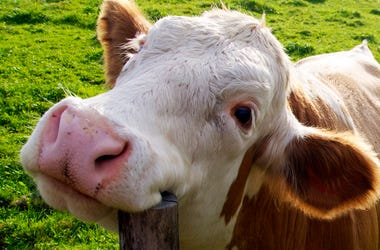 Happy Cute Cow