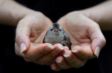 hands holding baby bird