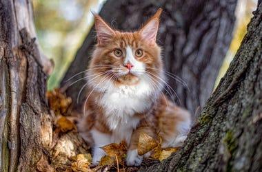 Orange Maine Coon Cat In Woods